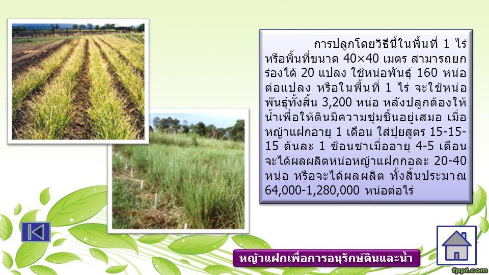 การปลูกโดยวิธีนี้ในพื้นที่ 1 ไร่ หรือพื้นที่ขนาด 40×40 เมตร สามารถยก ร่องได้ 20 แปลง ใช้หน่อพันธุ์ 160 หน่อ ต่อแปลง หรือในพื้นที่ 1 ไร่ จะใช้หน่อ พันธ