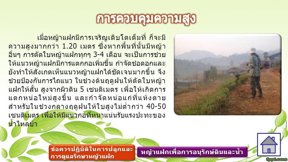 เมื่อหญ้าแฝกมีการเจริญเติบโตเต็มที่ ก็จะมี ความสูงมากกว่า 1.20 เมตร ซึ่งหากพื้นที่นั้นมีหญ้า อื่นๆ การตัดใบหญ้าแฝกทุกๆ 3-4 เดือน จะเป็นการช่วย ให้แนวห