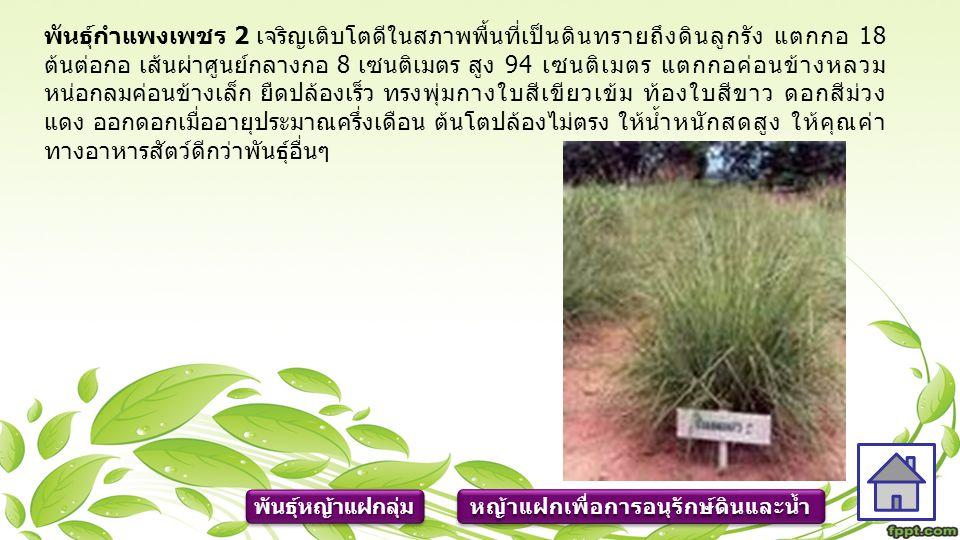 โดยทั่วไปหญ้าแฝกจะทำหน้าที่ได้ดี จะมีอายุตั้งแต่ 3 เดือนขึ้นไป ดังนั้น การปลูกหญ้าแฝกในช่วงต้นฤดูฝนจะเหมาะสมที่สุด ซึ่งหมายความว่าต้องเตรียม ขยายพันธุ์กล้าหญ้าแฝกตั้งแต่ช่วงฤดูแล้ง ที่มีแหล่งน้ำ สภาพของดินที่ปลูกในช่วงฤดู ฝนควรจะมีความชุ่มชื้นสูง กล้าหญ้าแฝกจึงมีโอกาสรอดตายสูง โดยปกติแล้วดินควรมี ความชุ่มชื้นติดต่อกันมากกว่า 2 สัปดาห์ขึ้นไป แต่อย่างไรก็ตามการปลูกหญ้าแฝกให้ มีอัตราการรอดตายสูง ควรต้องรดน้ำจะเป็นวิธีการดีที่สุด หญ้าแฝกเพื่อการอนุรักษ์ดินและน้ำ ข้อควรปฏิบัติในการปลูกและ การดูแลรักษาหญ้าแฝก ข้อควรปฏิบัติในการปลูกและ การดูแลรักษาหญ้าแฝก ข้อควรปฏิบัติในการปลูกและ การดูแลรักษาหญ้าแฝก ข้อควรปฏิบัติในการปลูกและ การดูแลรักษาหญ้าแฝก