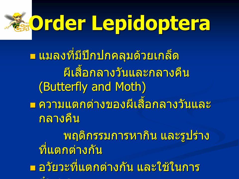 Order Lepidoptera แมลงที่มีปีกปกคลุมด้วยเกล็ด แมลงที่มีปีกปกคลุมด้วยเกล็ด ผีเสื้อกลางวันและกลางคืน (Butterfly and Moth) ผีเสื้อกลางวันและกลางคืน (Butt