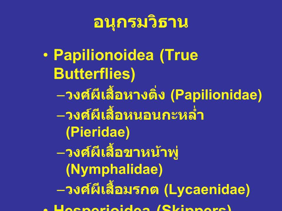 อนุกรมวิธาน Papilionoidea (True Butterflies) – วงศ์ผีเสื้อหางติ่ง (Papilionidae) – วงศ์ผีเสื้อหนอนกะหล่ำ (Pieridae) – วงศ์ผีเสื้อขาหน้าพู่ (Nymphalida