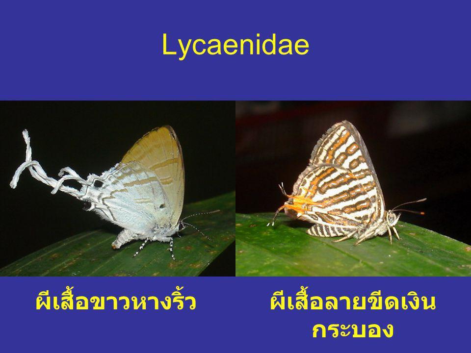 Lycaenidae ผีเสื้อขาวหางริ้วผีเสื้อลายขีดเงิน กระบอง