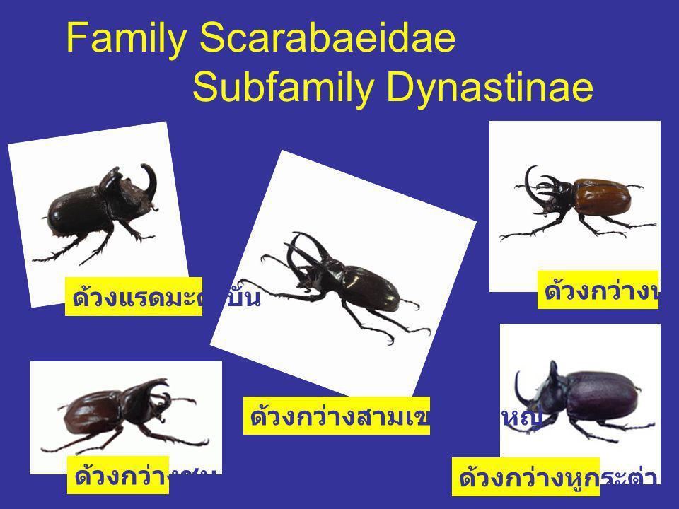 Family Scarabaeidae Subfamily Dynastinae ด้วงแรดมะตะบัน ด้วงกว่างชน ด้วงกว่างสามเขาเขาใหญ่ ด้วงกว่างห้าเขา ด้วงกว่างหูกระต่าย