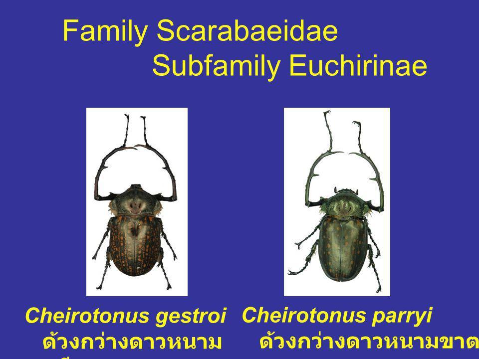 Family Scarabaeidae Subfamily Euchirinae Cheirotonus gestroi ด้วงกว่างดาวหนาม ขาเฉียง Cheirotonus parryi ด้วงกว่างดาวหนามขาตรง