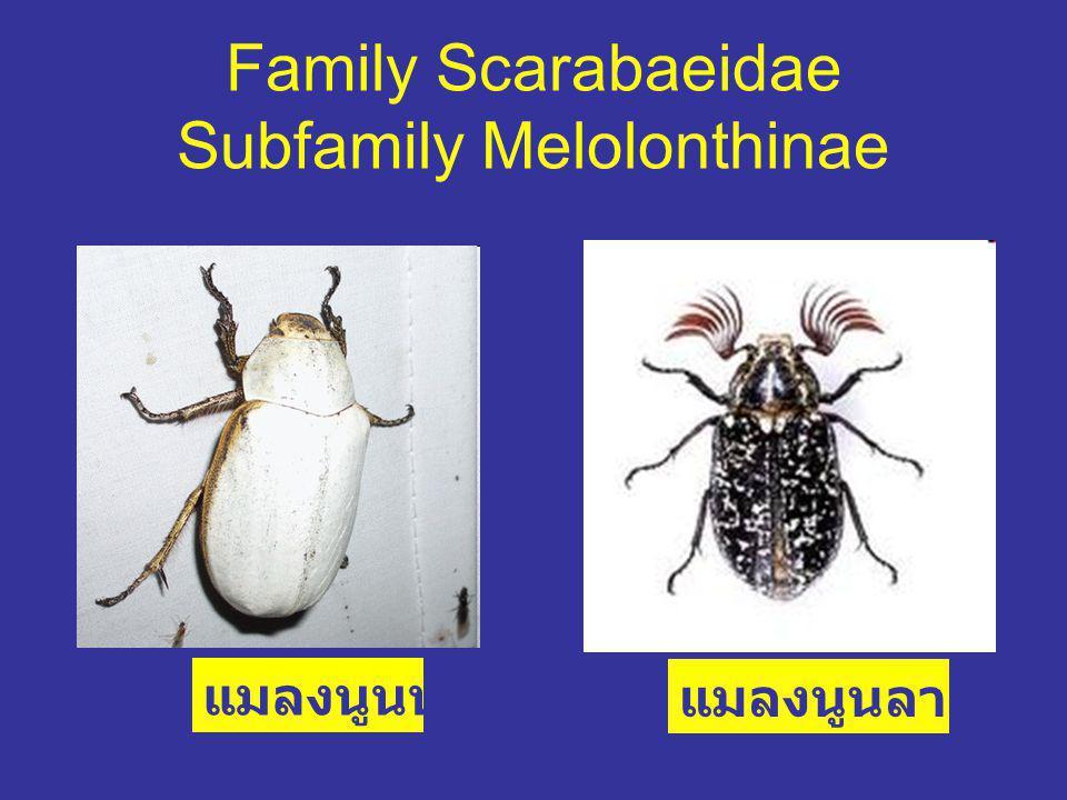 Family Scarabaeidae Subfamily Melolonthinae แมลงนูนหลวง แมลงนูนลายยุโรป