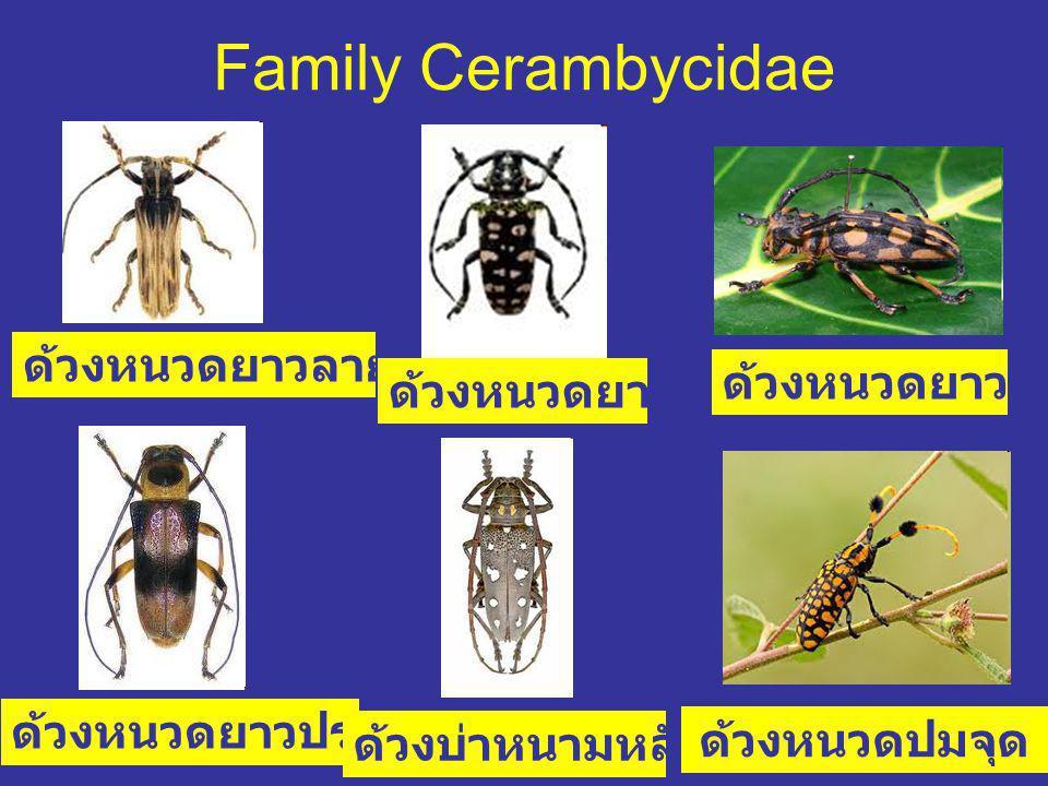 Family Cerambycidae ด้วงหนวดยาวลายเปลือกไม้ ด้วงหนวดยาวพะยูง ด้วงหนวดยาวประดับโลหะ ด้วงหนวดยาวเสือช่อง ด้วงบ่าหนามหลังขาวจุด ด้วงหนวดปมจุด เหลืองดำ