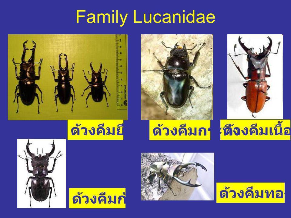 Family Lucanidae ด้วงคีมเนื้อทราย ด้วงคีมยีราฟ ด้วงคีมกระทิง ด้วงคีมก้ามปู ด้วงคีมทองกาญ