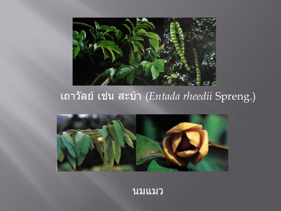 เถาวัลย์ เช่น สะบ้า ( Entada rheedii Spreng.) นมแมว