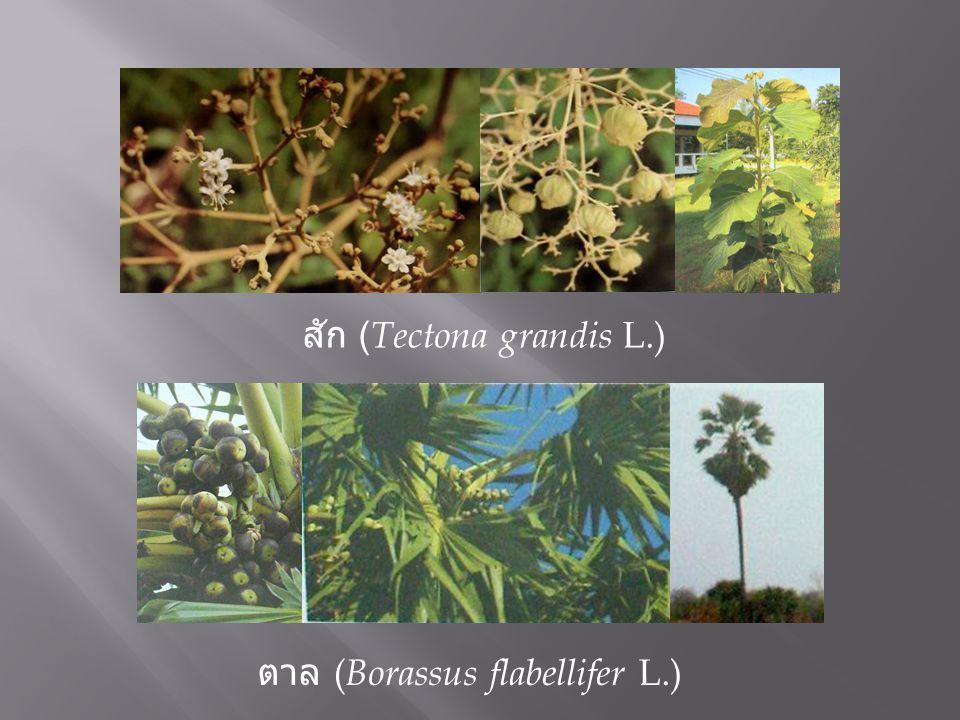 สัก ( Tectona grandis L.) ตาล ( Borassus flabellifer L.)