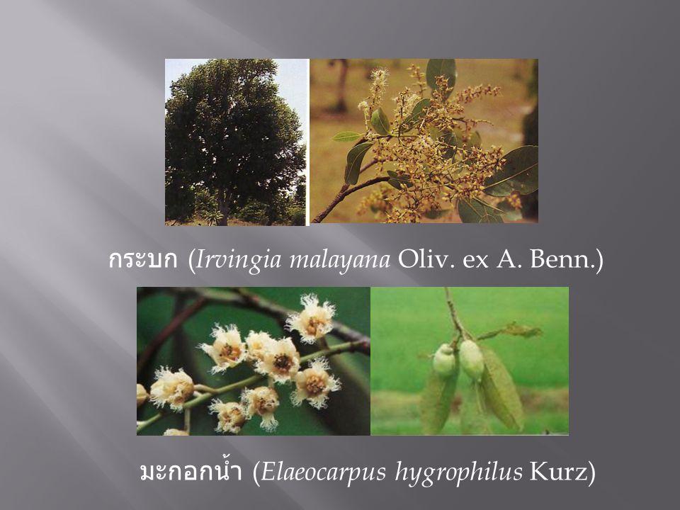 กระบก ( Irvingia malayana Oliv. ex A. Benn.) มะกอกน้ำ ( Elaeocarpus hygrophilus Kurz)