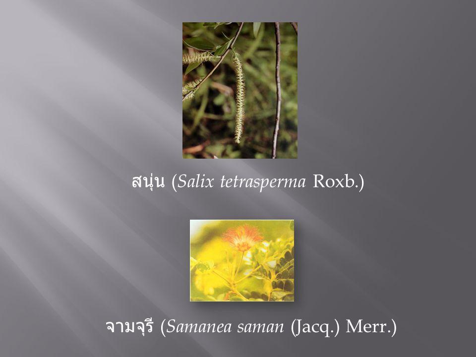 จามจุรี ( Samanea saman (Jacq.) Merr.) สนุ่น ( Salix tetrasperma Roxb.)