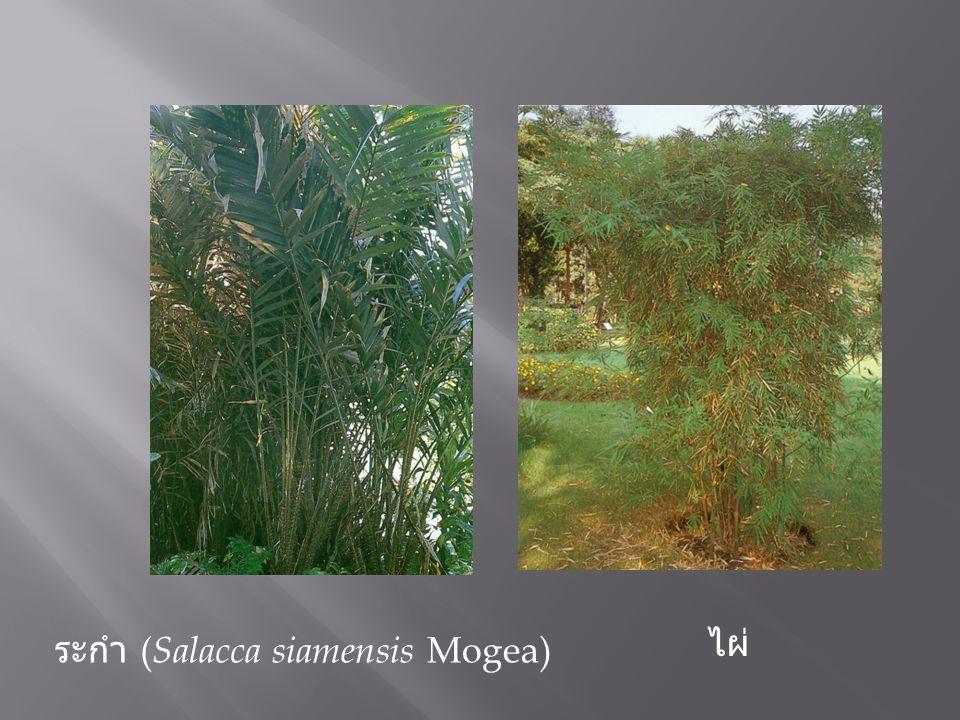 ไผ่ ระกำ ( Salacca siamensis Mogea)
