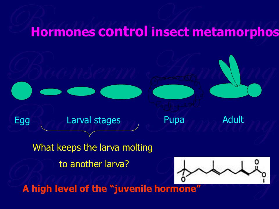 "EggLarval stages PupaAdult What keeps the larva molting to another larva? A high level of the ""juvenile hormone"" Hormones control insect metamorphosis"