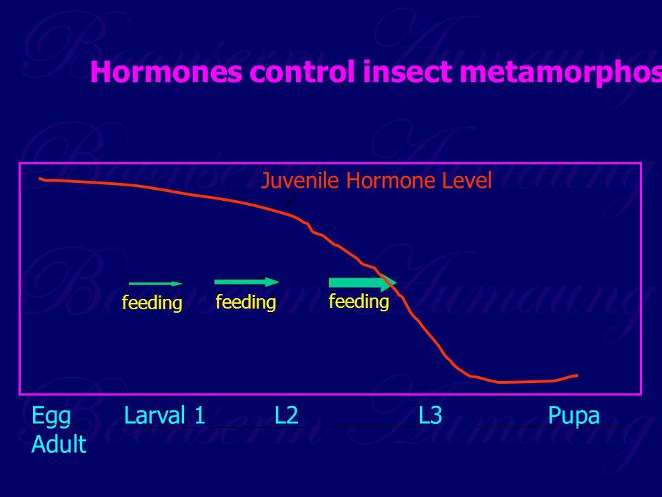 Egg Larval 1 L2 L3 Pupa Adult Juvenile Hormone Level feeding Hormones control insect metamorphosis