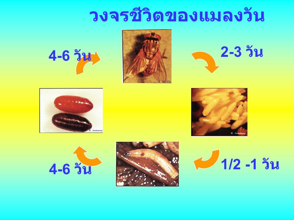 วงจรชีวิตของแมลงวัน 2-3 วัน 1/2 -1 วัน 4-6 วัน