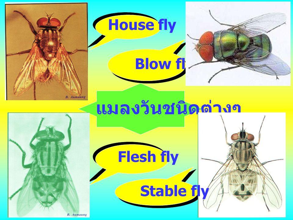 แมลงวันชนิดต่างๆ House fly Blow fly Flesh fly Stable fly