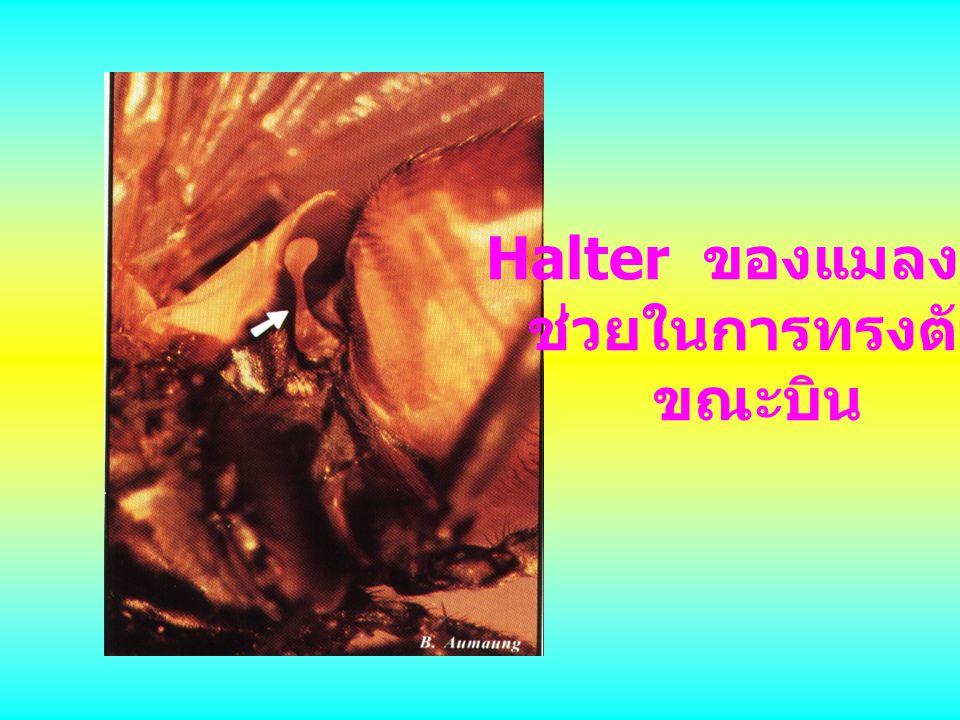 Halter ของแมลงวัน ช่วยในการทรงตัว ขณะบิน