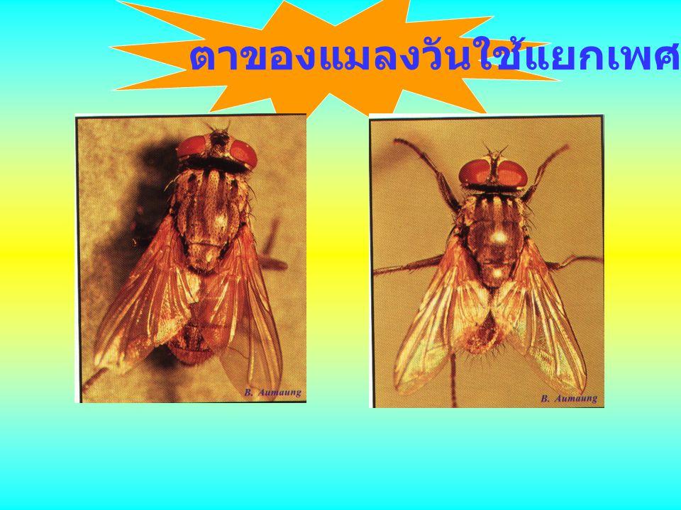 ตาของแมลงวันใช้แยกเพศ