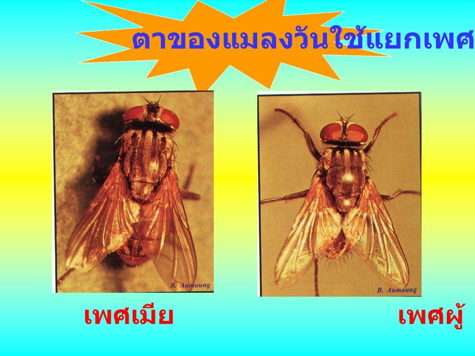 ตาของแมลงวัน ตารวม ตาเดี่ยว