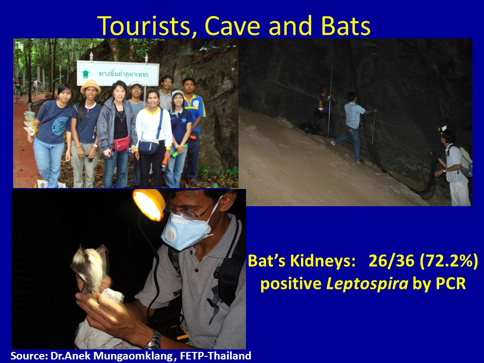 Tourists, Cave and Bats Source: Dr.Anek Mungaomklang, FETP-Thailand Bat's Kidneys: 26/36 (72.2%) positive Leptospira by PCR
