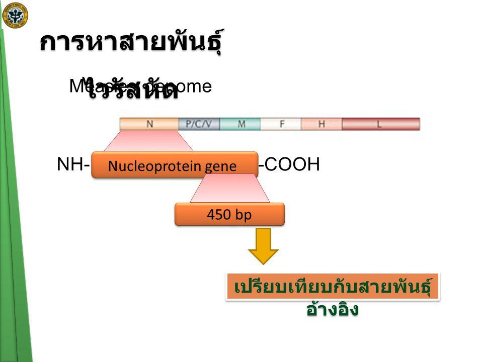 การหาสายพันธุ์ ไวรัสหัด Measles genome Nucleoprotein gene NH- -COOH 450 bp เปรียบเทียบกับสายพันธุ์ อ้างอิง