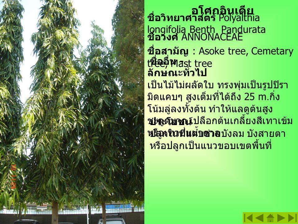 ประดู่ ชื่อวิทยาศาสตร์ : Pterocarpus indicas Willd.