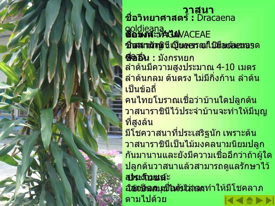 วาสนา ชื่อวิทยาศาสตร์ : Dracaena goldieana. ลักษณะทั่วไป วาสนาราชินีเป็นพรรณไม้ยืนต้นขนาด กลาง ลำต้นมีความสูงประมาณ 4-10 เมตร ลำต้นกลม ต้นตรง ไม่มีกิ่