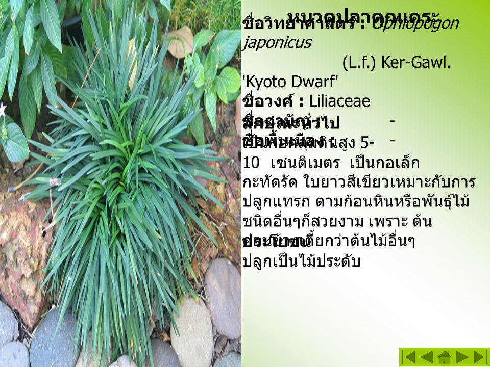 หนวดปลาดุกแคระ ชื่อวิทยาศาสตร์ : Ophiopogon japonicus (L.f.) Ker-Gawl. 'Kyoto Dwarf' ชื่อวงศ์ : Liliaceae ชื่อสามัญ :- ชื่อพื้นเมือง : - ลักษณะทั่วไป