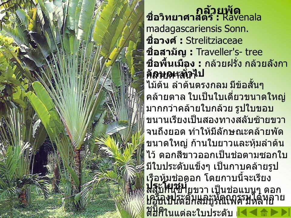 กล้วยพัด ชื่อวิทยาศาสตร์ : Ravenala madagascariensis Sonn. ชื่อวงศ์ : Strelitziaceae ชื่อสามัญ : Traveller's- tree ชื่อพื้นเมือง : กล้วยฝรั่ง กล้วยลัง
