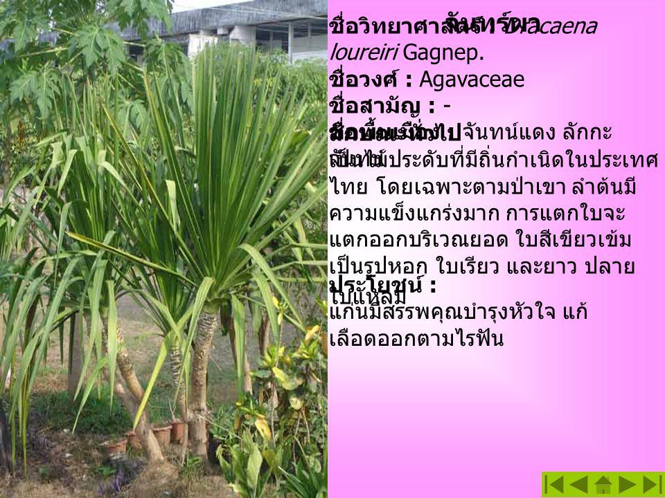 จันทร์ผา ชื่อวิทยาศาสตร์ : Dracaena loureiri Gagnep. ชื่อวงศ์ : Agavaceae ชื่อสามัญ : - ชื่อพื้นเมือง : จันทน์แดง ลักกะ จันทน์ ประโยชน์ : แก่นมีสรรพคุ