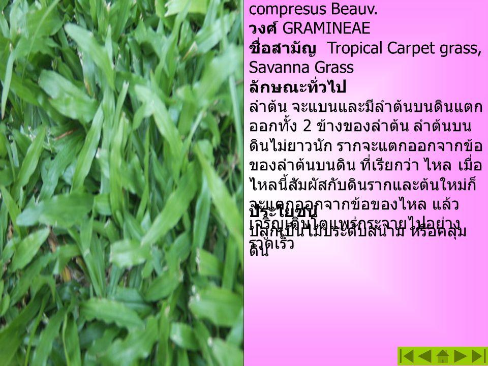 หญ้า Savanna ชื่อวิทยาศาสตร์ Axonopus compresus Beauv. วงศ์ GRAMINEAE ชื่อสามัญ Tropical Carpet grass, Savanna Grass ลักษณะทั่วไป ลำต้น จะแบนและมีลำต้