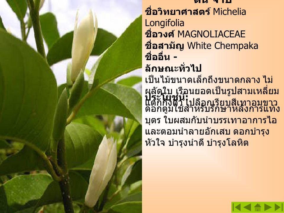 ต้น จำปี ชื่อวิทยาศาสตร์ Michelia Longifolia ชื่อวงศ์ MAGNOLIACEAE ชื่อสามัญ White Chempaka ชื่ออื่น - ลักษณะทั่วไป เป็นไม้ขนาดเล็กถึงขนาดกลาง ไม่ ผลั