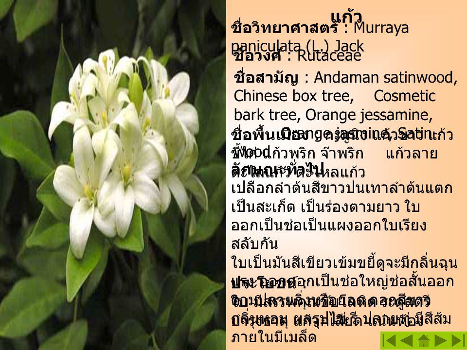 แก้ว ประโยชน์ : ใบ มีสรรพคุณขับโลหิต ระดูสตรี บำรุงธาตุ แก้จุกเสียด แน่นท้อง ชื่อวิทยาศาสตร์ : Murraya paniculata (L.) Jack ชื่อพื้นเมือง : กะมูนิง แก