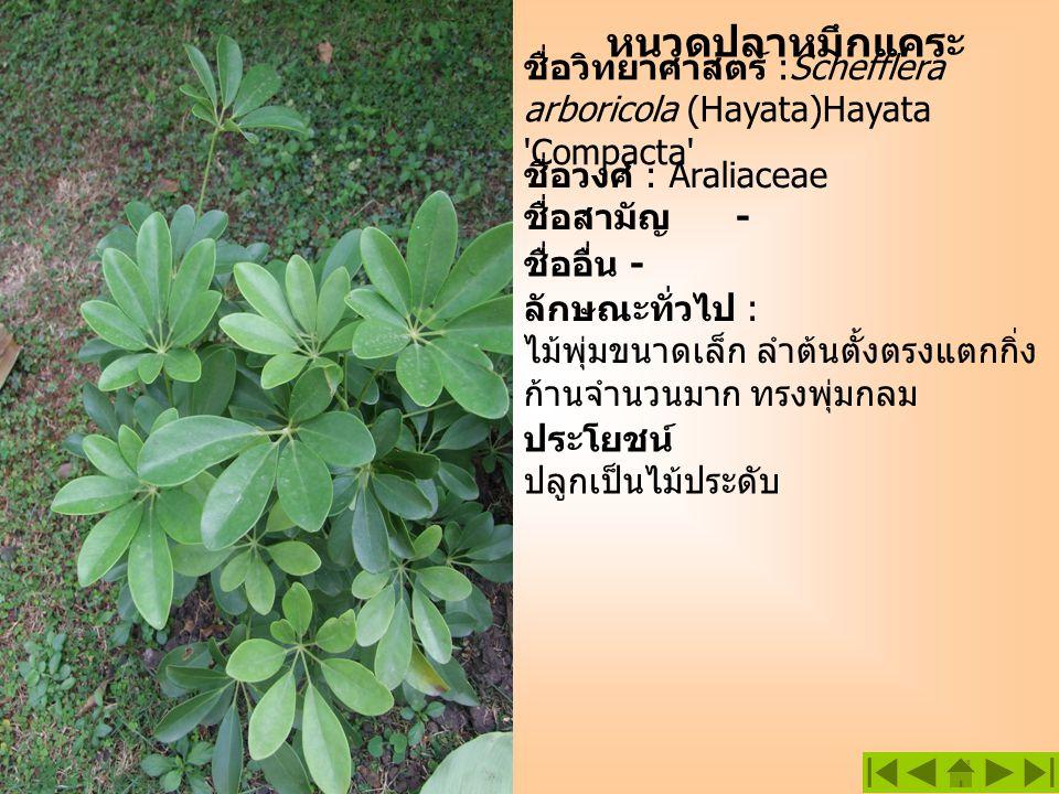 หนวดปลาหมึกแคระ ชื่อวิทยาศาสตร์ :Schefflera arboricola (Hayata)Hayata 'Compacta' ชื่อวงศ์ : Araliaceae ลักษณะทั่วไป : ไม้พุ่มขนาดเล็ก ลำต้นตั้งตรงแตกก