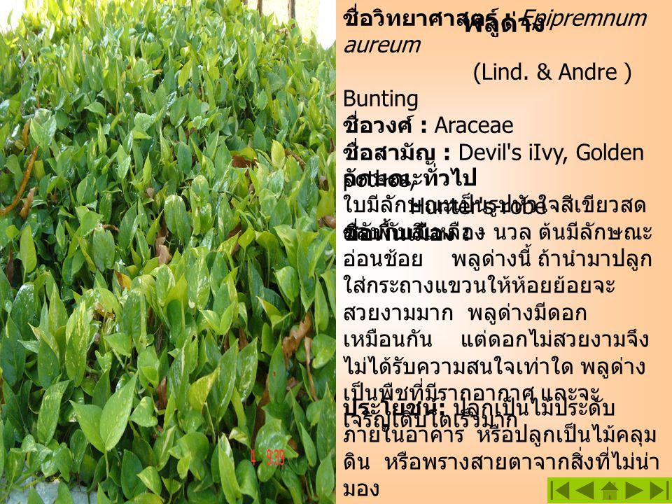 พลูด่าง ชื่อวิทยาศาสตร์ : Epipremnum aureum (Lind. & Andre ) Bunting ชื่อวงศ์ : Araceae ชื่อสามัญ : Devil's iIvy, Golden pothos, Hunter's-robe ชื่อพื้