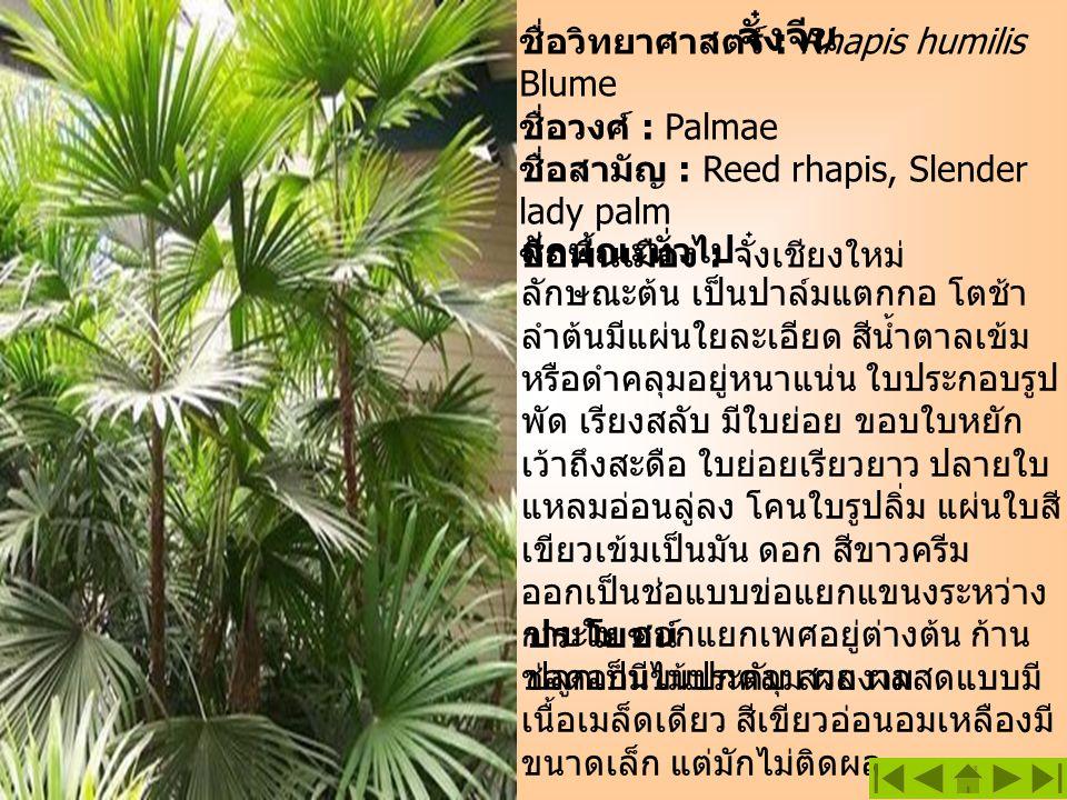 จั๋งจีน ชื่อวิทยาศาสตร์ : Rhapis humilis Blume ชื่อวงศ์ : Palmae ชื่อสามัญ : Reed rhapis, Slender lady palm ชื่อพื้นเมือง : จั๋งเชียงใหม่ ลักษณะทั่วไป
