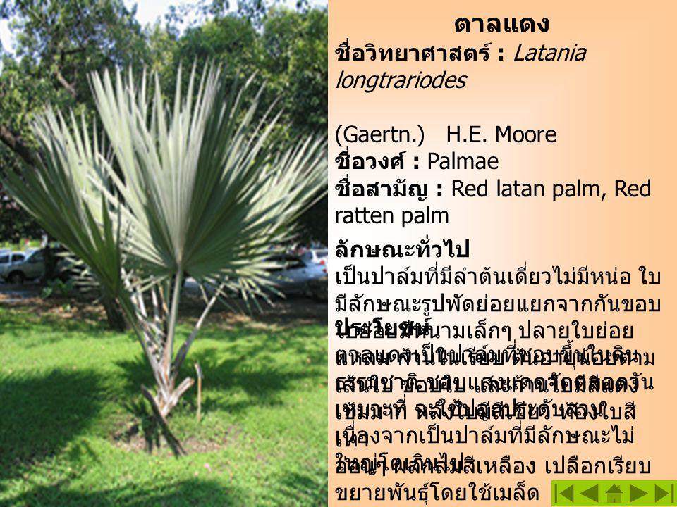 ตาลแดง ชื่อวิทยาศาสตร์ : Latania longtrariodes (Gaertn.) H.E. Moore ชื่อวงศ์ : Palmae ชื่อสามัญ : Red latan palm, Red ratten palm ลักษณะทั่วไป เป็นปาล