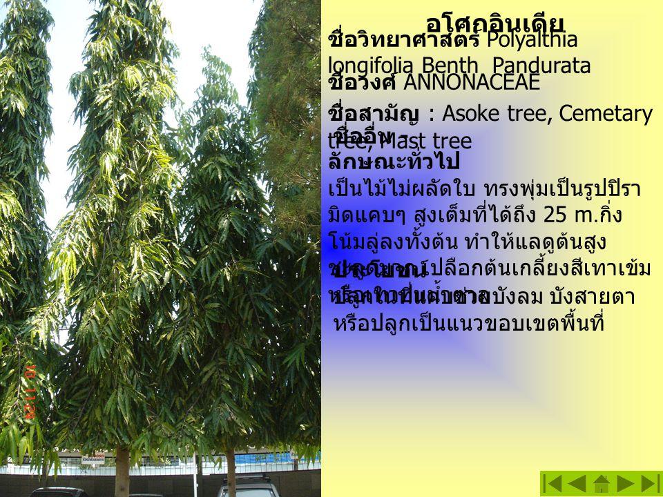ชื่อวิทยาศาสตร์ Polyalthia longifolia Benth Pandurata อโศกอินเดีย ลักษณะทั่วไป เป็นไม้ไม่ผลัดใบ ทรงพุ่มเป็นรูปปิรา มิดแคบๆ สูงเต็มที่ได้ถึง 25 m. กิ่ง