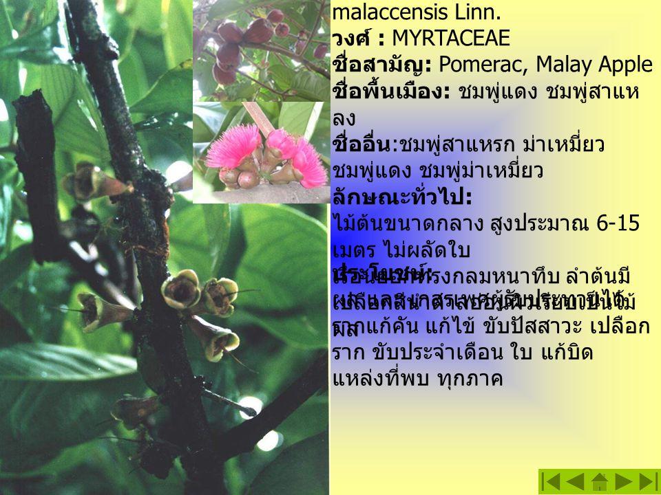 ชมพู่มะเหมี่ยว ชื่อวิทยาศาสตร์ : Eugenia malaccensis Linn. วงศ์ : MYRTACEAE ชื่อสามัญ : Pomerac, Malay Apple ชื่อพื้นเมือง : ชมพู่แดง ชมพู่สาแห ลง ชื่