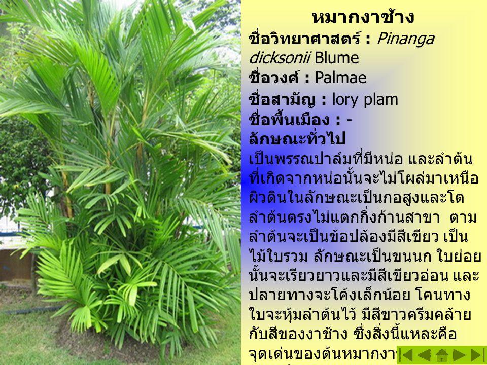 หมากงาช้าง ชื่อวิทยาศาสตร์ : Pinanga dicksonii Blume ชื่อวงศ์ : Palmae ชื่อสามัญ : lory plam ชื่อพื้นเมือง : - ลักษณะทั่วไป เป็นพรรณปาล์มที่มีหน่อ และ