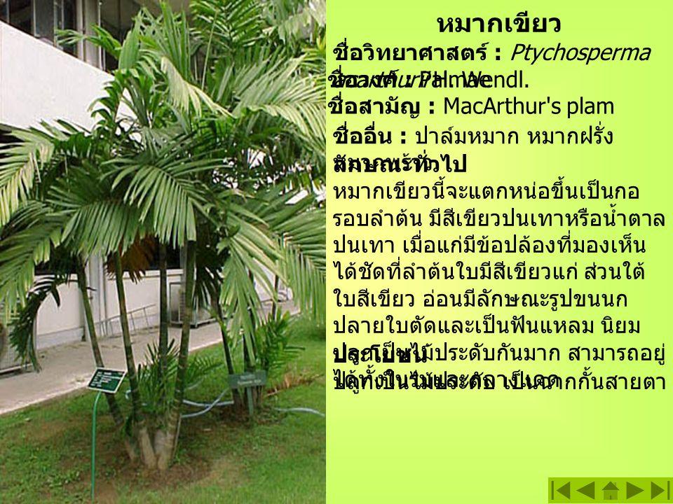 หมากเขียว ชื่อวิทยาศาสตร์ : Ptychosperma acarthurii H.
