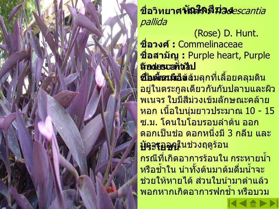 หัวใจสีม่วง ชื่อวิทยาศาสตร์ : Tradescantia pallida (Rose) D.