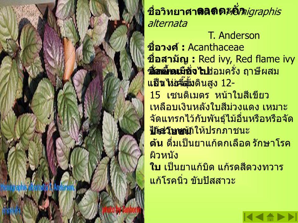 ดาดตะกั่ว ชื่อวิทยาศาสตร์ : Hemigraphis alternata T.
