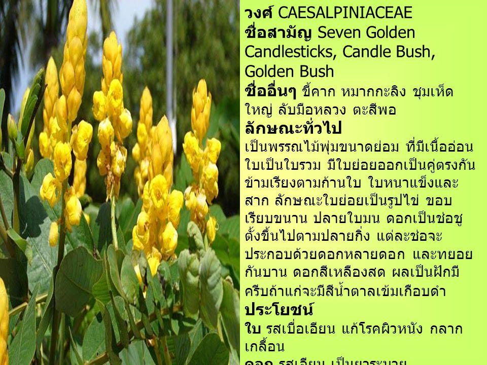 ชุมเห็ดเทศ ชื่อวิทยาศาสตร์ Cassia alata Linn.