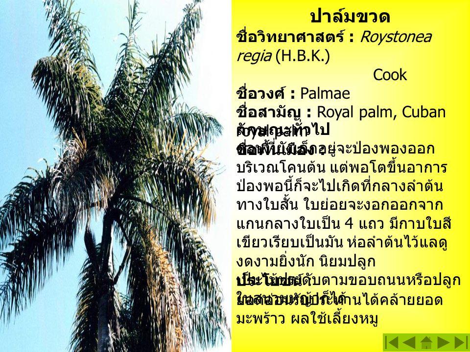 ปาล์มขวด ชื่อวิทยาศาสตร์ : Roystonea regia (H.B.K.) Cook ชื่อวงศ์ : Palmae ชื่อสามัญ : Royal palm, Cuban royal palm ชื่อพื้นเมือง : - ประโยชน์ : ยอดอ่อนรับประทานได้คล้ายยอด มะพร้าว ผลใช้เลี้ยงหมู ลักษณะทั่วไป ตอนที่ยังเล็กอยู่จะป่องพองออก บริเวณโคนต้น แต่พอโตขึ้นอาการ ป่องพอนี้ก็จะไปเกิดที่กลางลำต้น ทางใบสั้น ใบย่อยจะงอกออกจาก แกนกลางใบเป็น 4 แถว มีกาบใบสี เขียวเรียบเป็นมัน ห่อลำต้นไว้แลดู งดงามยิ่งนัก นิยมปลูก เป็นไม้ประดับตามขอบถนนหรือปลูก ในสนามหญ้าก็ได้
