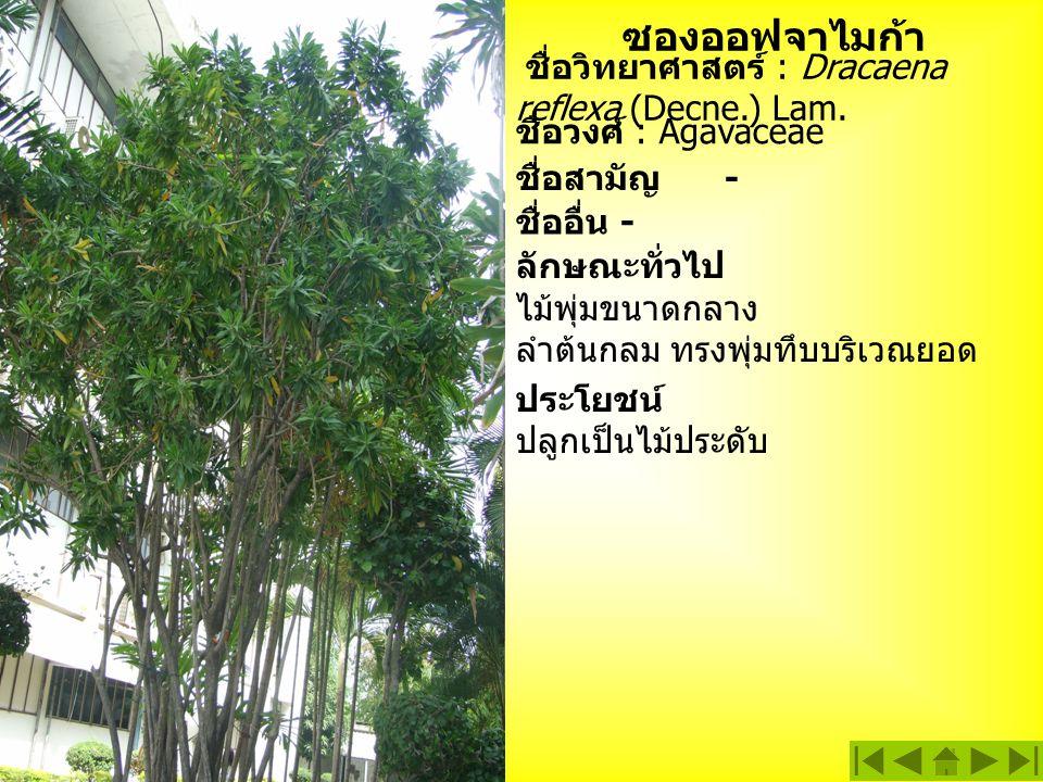 ซองออฟจาไมก้า ชื่อวิทยาศาสตร์ : Dracaena reflexa (Decne.) Lam. ชื่อวงศ์ : Agavaceae ลักษณะทั่วไป ไม้พุ่มขนาดกลาง ลำต้นกลม ทรงพุ่มทึบบริเวณยอด ชื่อสามั