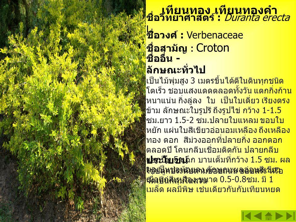 เทียนทอง เทียนทองคำ ชื่อวิทยาศาสตร์ : Duranta erecta L. ชื่ออื่น - ชื่อสามัญ : Croton ชื่อวงศ์ : Verbenaceae ลักษณะทั่วไป เป็นไม้พุ่มสูง 3 เมตรขึ้นได้