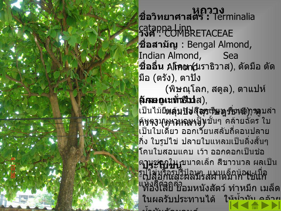 หูกวาง ชื่อวิทยาศาสตร์ : Terminalia catappa Linn. ชื่ออื่น : โคน ( นราธิวาส ), ดัดมือ ตัด มือ ( ตรัง ), ตาปัง ( พิษณุโลก, สตูล ), ตาแปห์ ( มลายู - นรา
