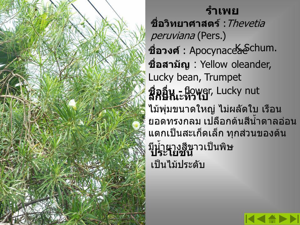 ชื่อวิทยาศาสตร์ :Thevetia peruviana (Pers.) K.Schum. ชื่อวงศ์ : Apocynaceae ลักษณะทั่วไป ไม้พุ่มขนาดใหญ่ ไม่ผลัดใบ เรือน ยอดทรงกลม เปลือกต้นสีน้ำตาลอ่