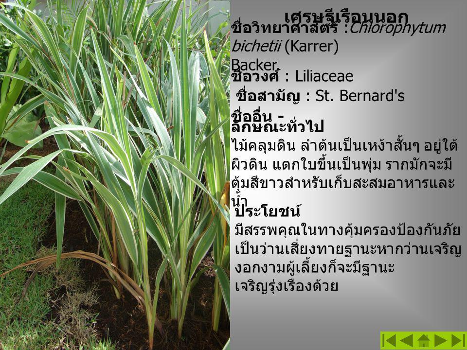 เศรษฐีเรือนนอก ชื่อวิทยาศาสตร์ :Chlorophytum bichetii (Karrer) Backer. ชื่อวงศ์ : Liliaceae ชื่อสามัญ : St. Bernard's ลักษณะทั่วไป ไม้คลุมดิน ลำต้นเป็